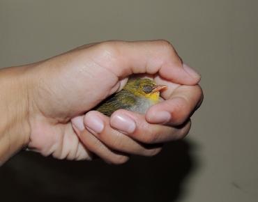 Baby Bird ID